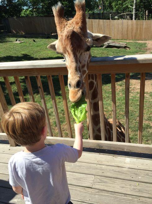 FeedingGiraffes1